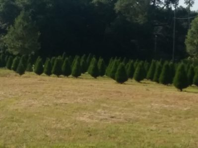 Joes Christmas tree farm